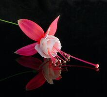 Fuchsia XVIII by Tom Newman