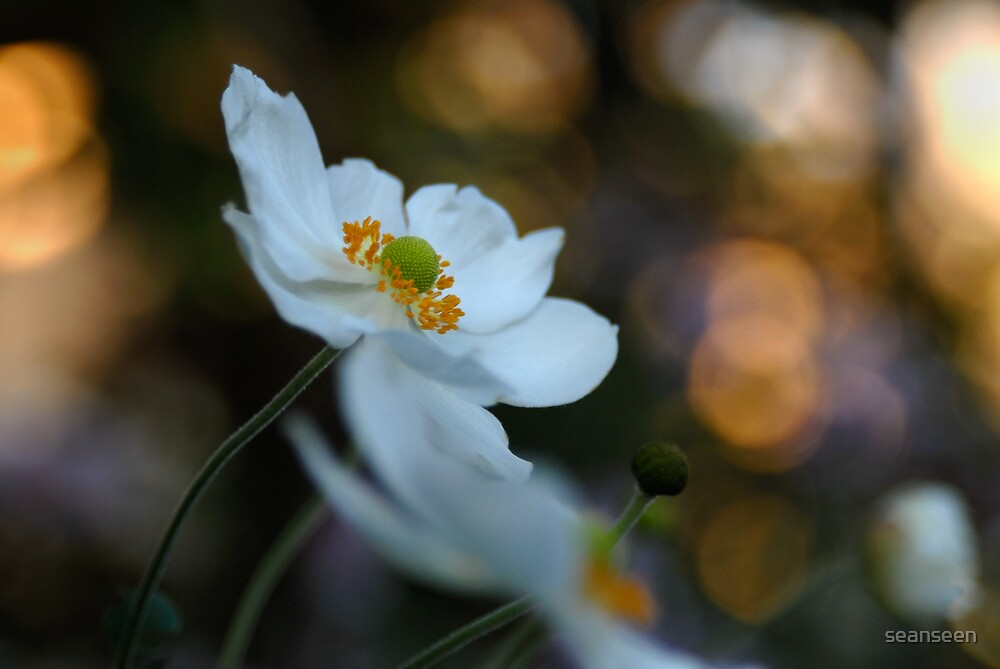 Japanese Anemone White by seanseen