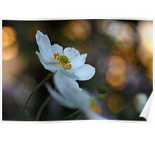 Japanese Anemone White Poster