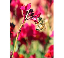 Linaria Bee  Photographic Print