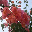 Bougainvillea At Daybreak by taiche