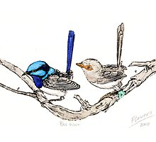 The blue wrens Photographic Print