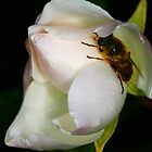 White Rose & the Bee by CaseyConnor