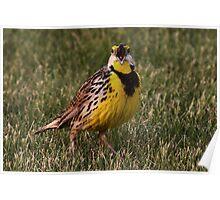 Singing Meadowlark Poster
