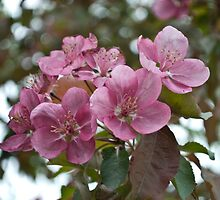 Spring Blossoms by Crystal Zacharias