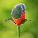 Emerging Poppy by naffarts