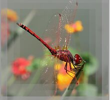 Red Skimmer or Firecracker Dragonfly With Lantana Background by taiche
