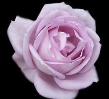 Lilic Rose on Black Velvet by LoneAngel