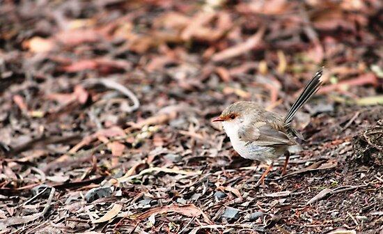 Fairy Wren (Malurus cyaneus) - Brown by Michael Humphrys