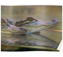 Baby Crocs ! Poster
