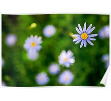 flowering garden. Blooming blue Gerbera flowers Poster