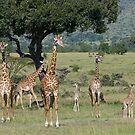 Giraffes, Masai Mara, Kenya by Craig Scarr