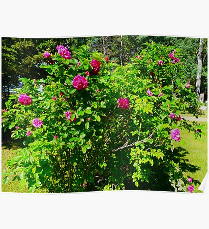 Old Fashioned Rose Bush Poster