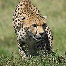 Cheetah, Masai Mara, Kenya by Craig Scarr