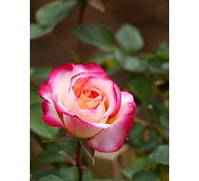 A rose by any other colour Photographic Print
