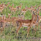 Impala Herd, Masai Mara, Kenya by Craig Scarr
