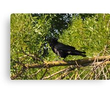 Daddy crow waiting for his morning peanuts Canvas Print