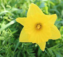 Daffodil by Ali Avera