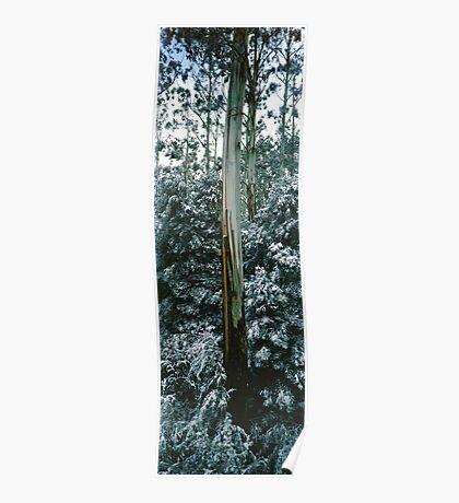 Mountain Ash (Eucalyptus regnans) Poster