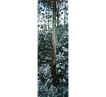 Mountain Ash (Eucalyptus regnans) Photographic Print
