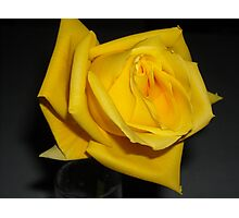 Yellow Rose of Indiana Photographic Print