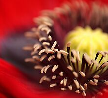 Poppy  by SquarePeg