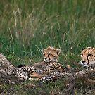Cheetah's, Masai Mara, Kenya by Craig Scarr