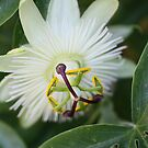 Passion Flower by Kimberly Palmer