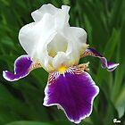 Iris by Raodk45