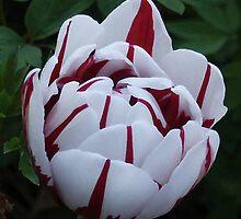 Candy Cane Tulip by Epazia Espino