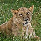 Lioness, Masai Mara, Kenya by Craig Scarr