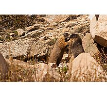 What Marmots Really Do When No Humans Are Around Photographic Print