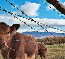 A Cow View by Kevin  McIntyre