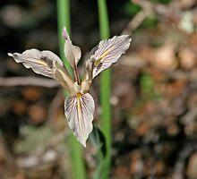 Bowl Tubed Iris by Trish Peach