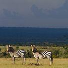 Zebra's, Masai Mara, Kenya by Craig Scarr