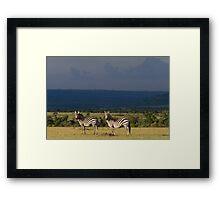 Zebra's, Masai Mara, Kenya Framed Print