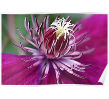 Clematis In Deep Pink Poster
