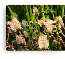 Wildflowers (Prairie Smoke) Canvas Print