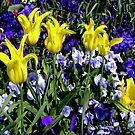 Yellow Tulips and Purple Pansies by Dana Roper