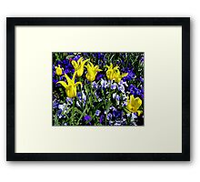 Yellow Tulips and Purple Pansies Framed Print