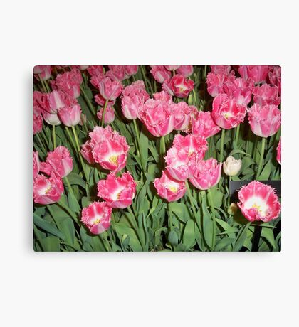 Yard of Pink Tulips Canvas Print