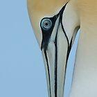 Gannet by Dean   Eades