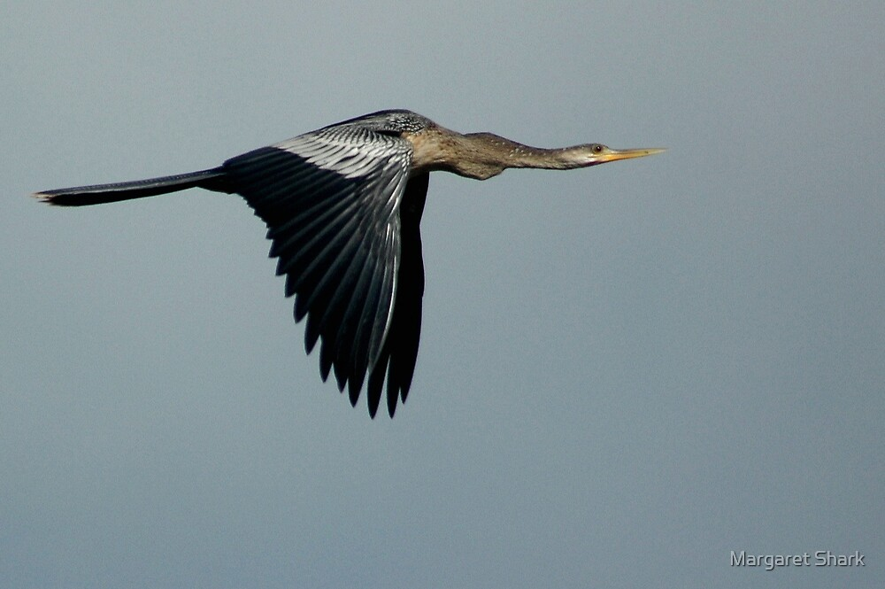 Blue Heron in Flight by Margaret  Shark