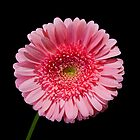 Perfect Pink Gerber Daisy by Jack DiMaio