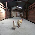 Chicken Stable by stevedunkley