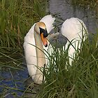 Relaxing Swan by Simon  McCue