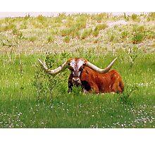 Longhorn Photographic Print