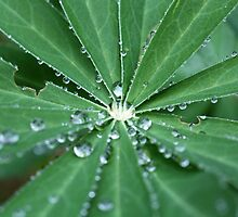 Water drops on a leaf.  by Zosimus