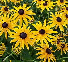 Black Eyed Susan Garden Patch by coribeth