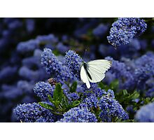 White Butterfly on the Humming Bush Photographic Print